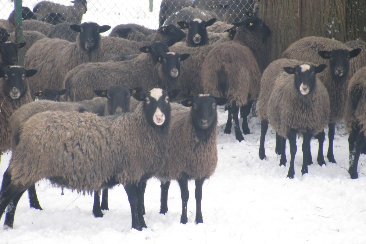 Овцы романовской породы в естественной среде зимовка