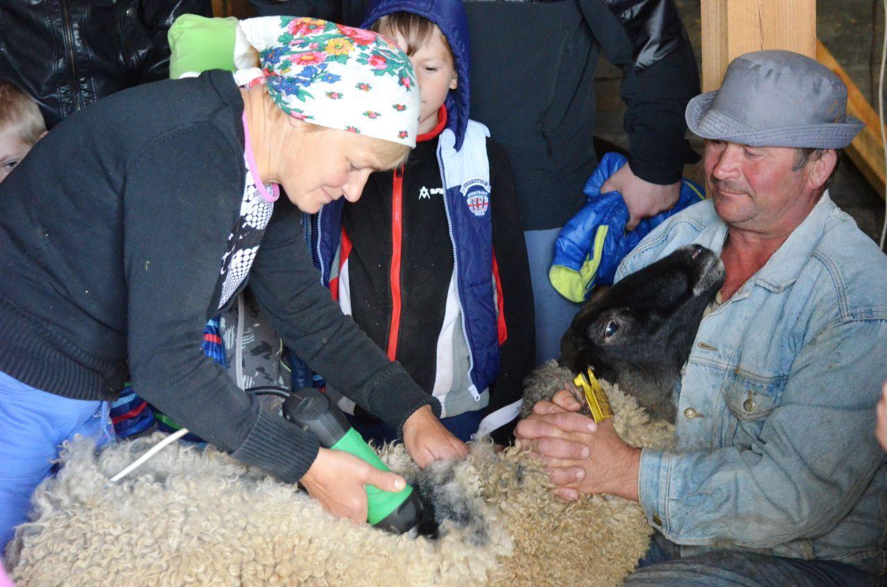 Стрижка овец романовской породы