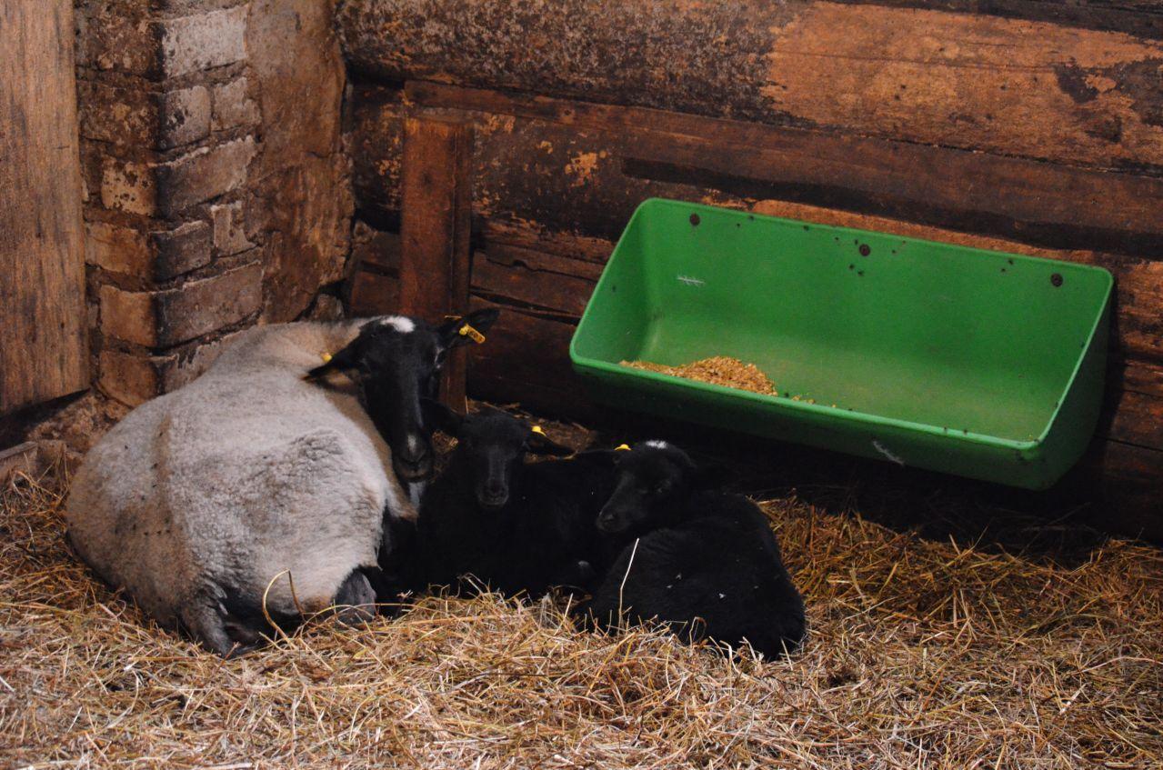 Романовская овца на отдыхе